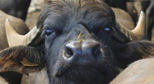bufala razza mediterranea italiana